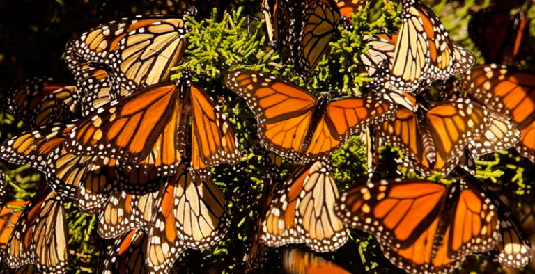 Number of Monarch Butterflies decreases by 26%