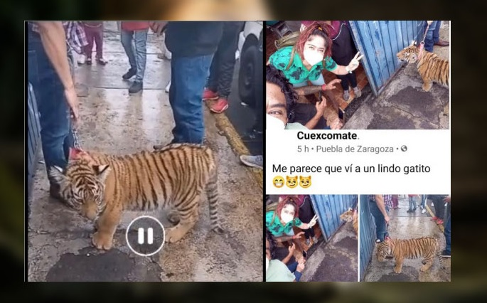 Puebla man takes his tiger on a leash for a walk